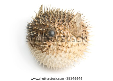 Porcupine fish isolated on a white background - stock photo