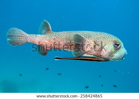 porcupine fish on the coral reef in Phuket,Thailand - stock photo