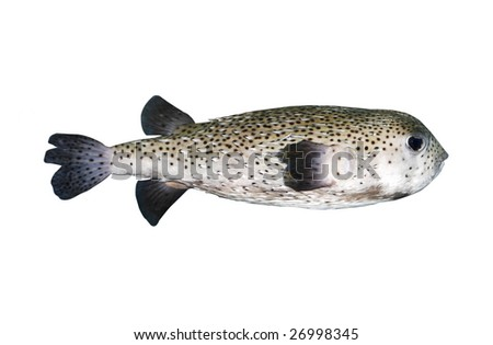porcupine fish with clipping path - stock photo