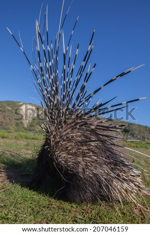 Porcupine from the back with quils standing up - stock photo