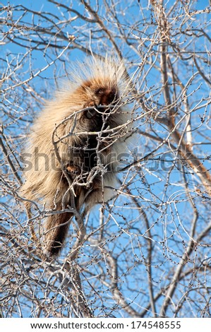 Porcupine high in the tree - stock photo