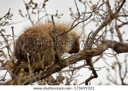 Porcupine in a tree in Cartwright, Manitoba. - stock photo