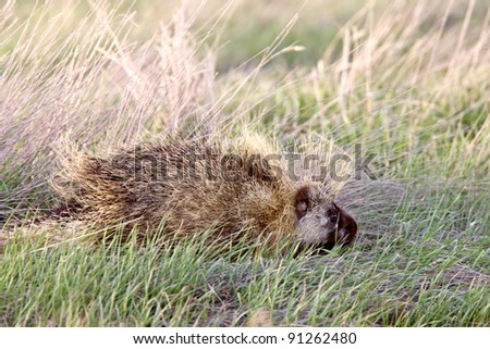Porcupine in field Saskatchewan Canada - stock photo