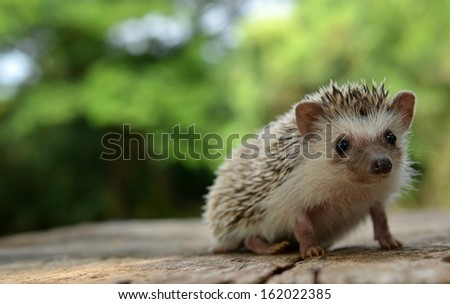 Porcupine  in the nature - stock photo