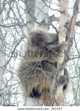 porcupine in tree in Elk NP,Canada