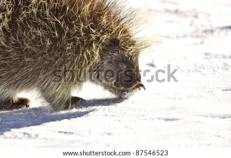Porcupine in winter Saskatchewan Canada Cold Freezing beauty quills - stock photo