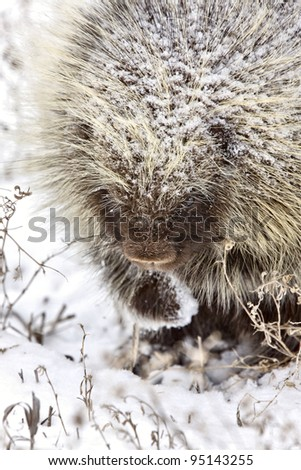 Porcupine in Winter Saskatchewan Canada snow and cold - stock photo
