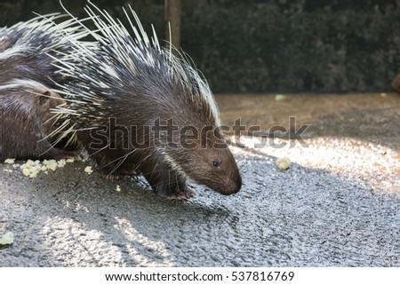 porcupine in zoo