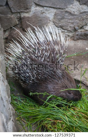 Porcupine in ZOO. Yalta. Ukraine