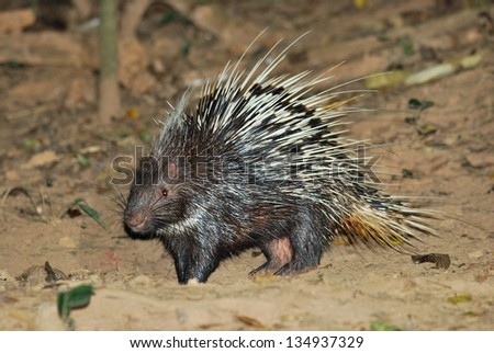 Porcupine living in the night searching for food - stock photo