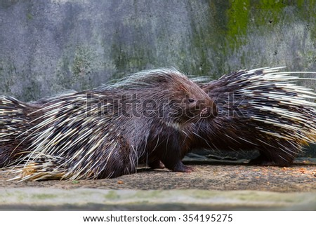 Porcupine looking for food in the wild.