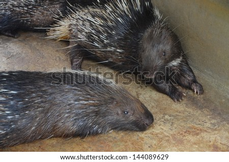 Porcupine lying on the floor of the cage
