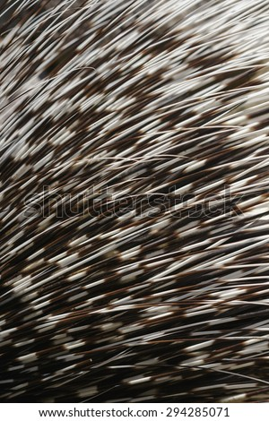 Porcupine needle. Hedgehog texture close up shoot - stock photo
