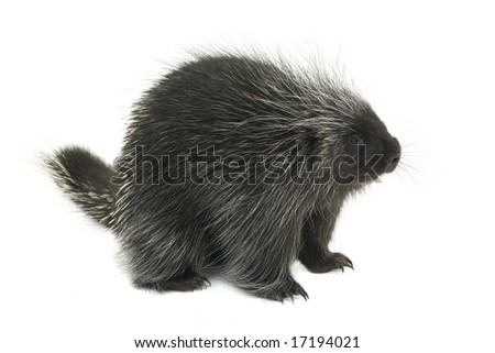 Porcupine on a white background - stock photo