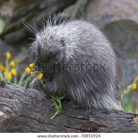 Porcupine on log with yellow flowers in background