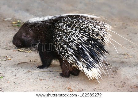 Porcupine rodent with sharp black and white quills