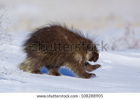 Porcupine running thru winter snow, Colville Indian Reservation, Washington - stock photo