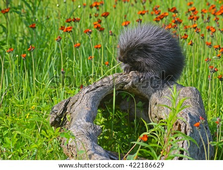 Porcupine sitting on a log in a field of orange wildflowers. - stock photo