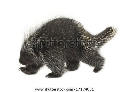 Porcupine walking on a white background - stock photo