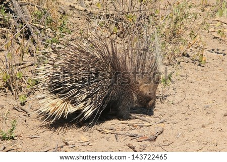 Porcupine - Wild and Free Rodent from Africa - Normally nocturnal, it is rare to see this impressive animal during daylight hours.  Quills for Africa.  Photographed in Namibia. - stock photo