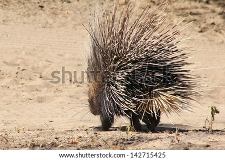 Porcupine - Wildlife from Africa - Walking around with a thousand sharp quills can deter many an enemy from sneaking an attack.  Photographed in Namibia.  Free and Wild Rodents. - stock photo