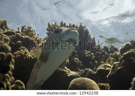 porcupinefish (diodon hystrix) - stock photo