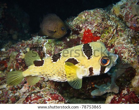 porcupinefish in maldivian coral reef - stock photo