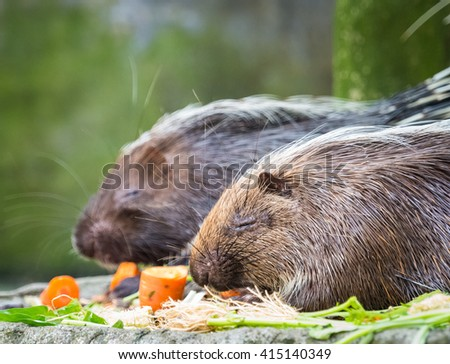 Porcupines - stock photo