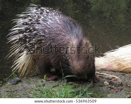 Porcupines are rode nation mammals with a coat of sharp spines, or quills, that protect against predators