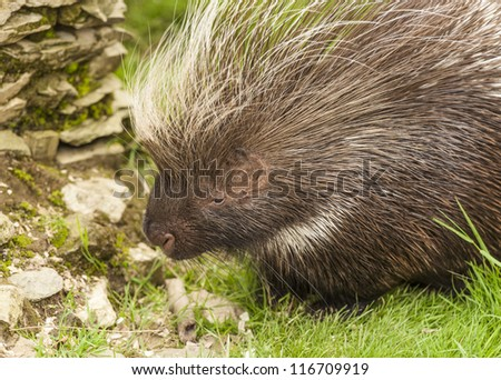 Porcupines are Rodents with a Coat of Sharp Spines, or Quills