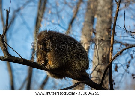 Porcupines pronounced blue are rodents with a coat of sharp spines, or quills, that protect against predators. They live in wooded areas and climb trees, where some species spend their entire lives. - stock photo