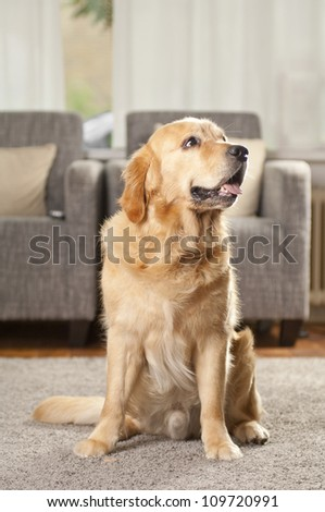 Portait of a golden retriever in living room