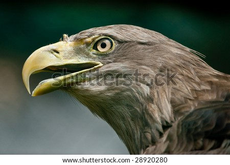 Portait of a White-tailed Eagle (lat. Haliaeetus albicilla)