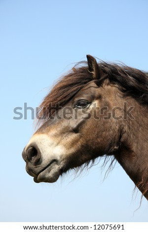 Portait of an Exmoor Pony - stock photo