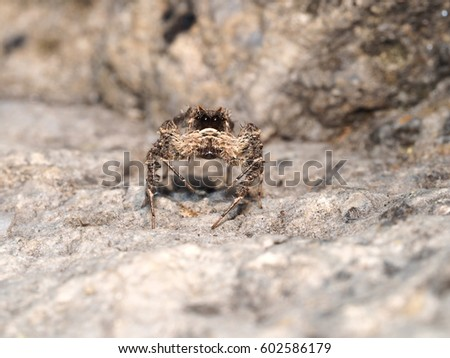 Portia jumping spider