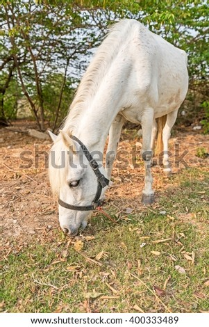 Portrai of The Old white Mare ; White hair coat horse with mane braided in pigtails grazing in the meadow - stock photo
