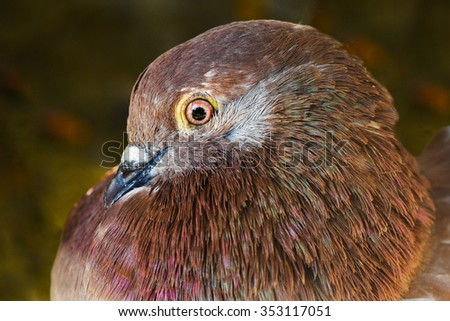 Portrait about a brown domestic dove on green background.