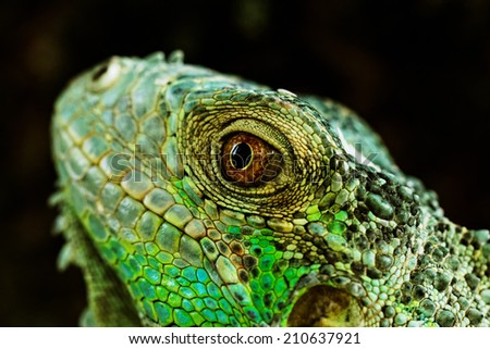 portrait about a green iguana on the tree - stock photo