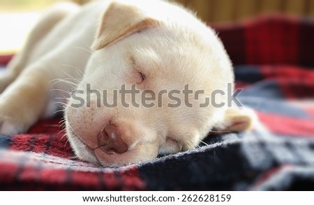 Portrait adorable little puppy, lying on the table, soft focus - stock photo