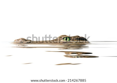 portrait  alligator on the white background - stock photo