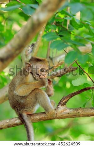 Portrait baby macaque on a tree branch. Sri Lanka - stock photo