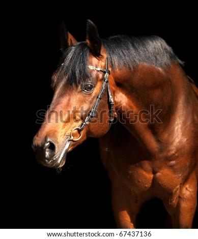 portrait bay horse isolated on black background - stock photo