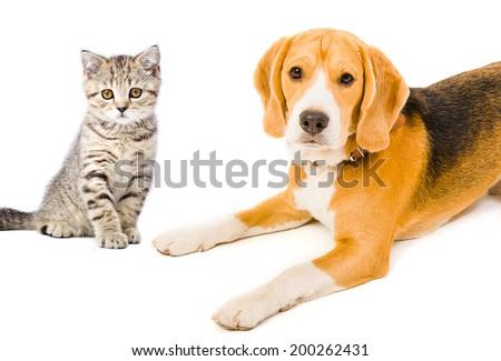 Portrait Beagle dog and kitten Scottish Straight - stock photo