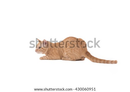 Portrait beautiful yellow cat eyes looking isolated on white background. - stock photo