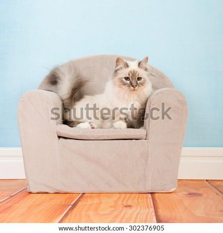 Portrait Birman cat in little chair - stock photo