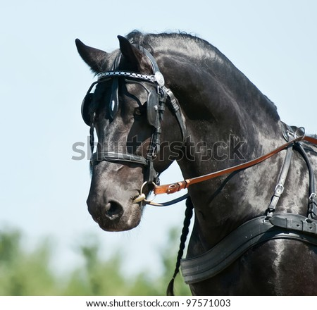 Portrait  black friesian horse carriage driving harness outdoor - stock photo