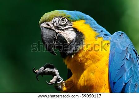 Portrait blue-and-yellow macaw - (Ara ararauna) - stock photo