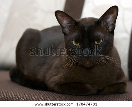 Portrait burmese cat lying and posing looking into the lens - stock photo