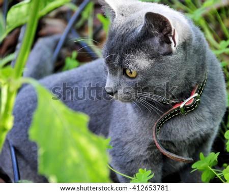 portrait cat, kitten blue color - stock photo