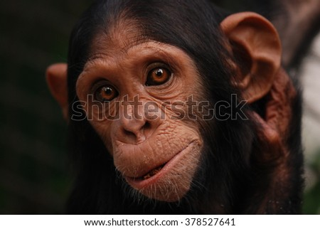 Portrait chimpanzee in zoo - stock photo